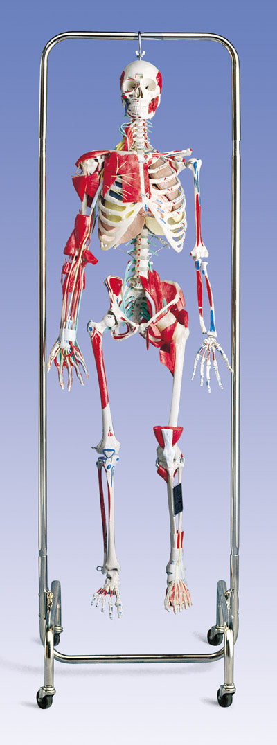 Normal Skeleton